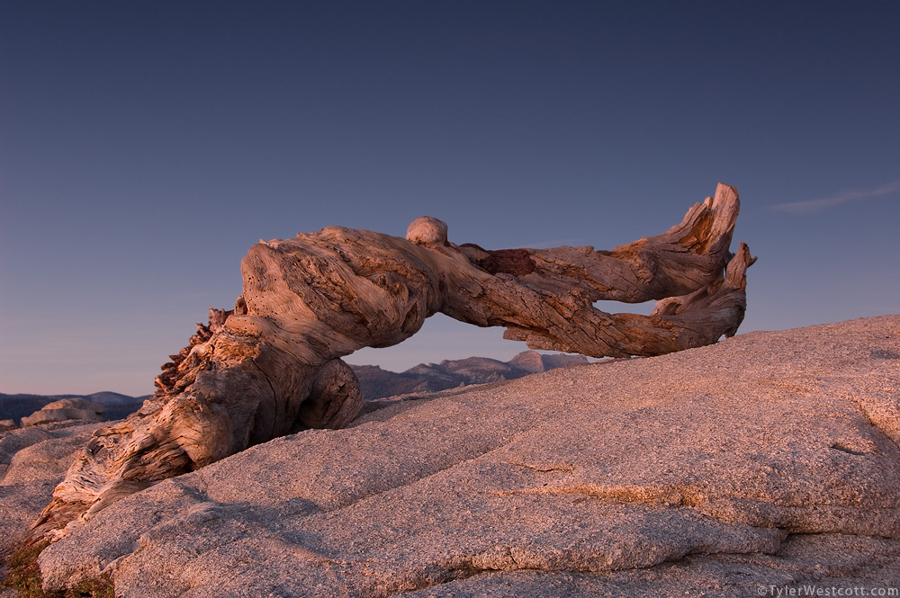 Jeffrey Pine at Dusk, Yosemite National Park, California