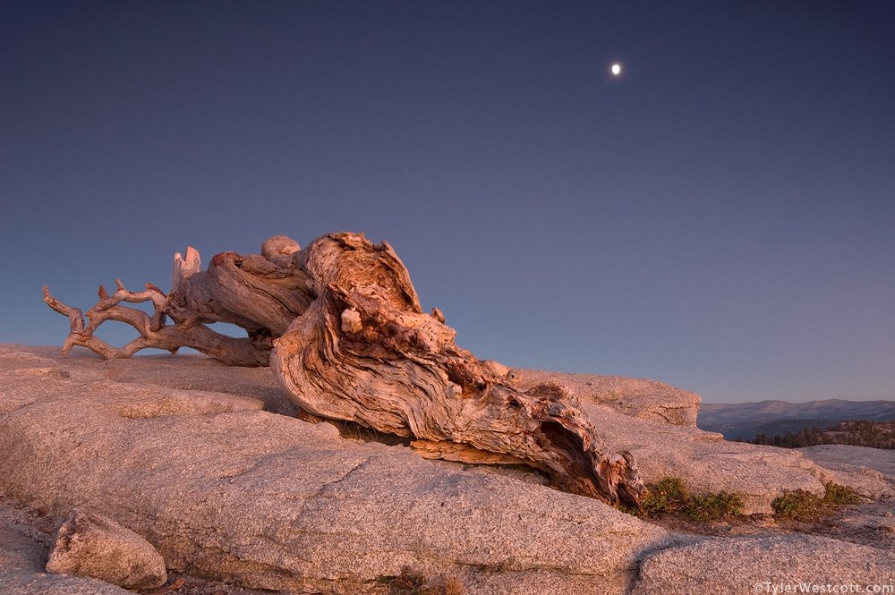Jeffrey Pine and Rising Moon, Yosemite National Park, California